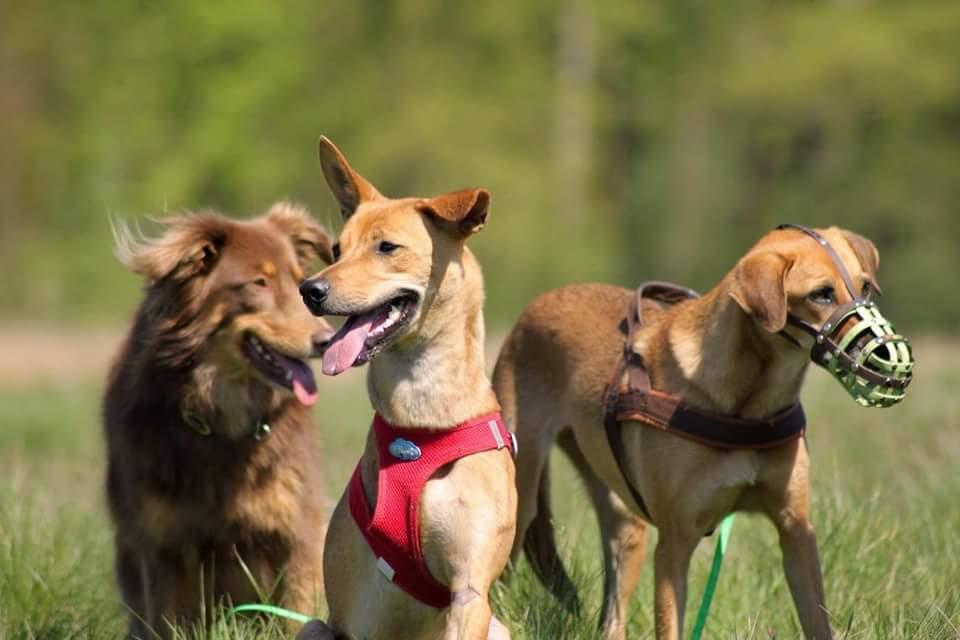 3 Hunde auf der Wiese