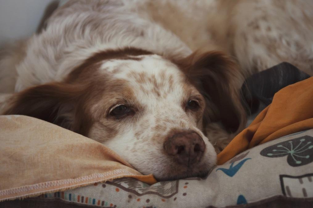 Hund liegt auf Bettdecke
