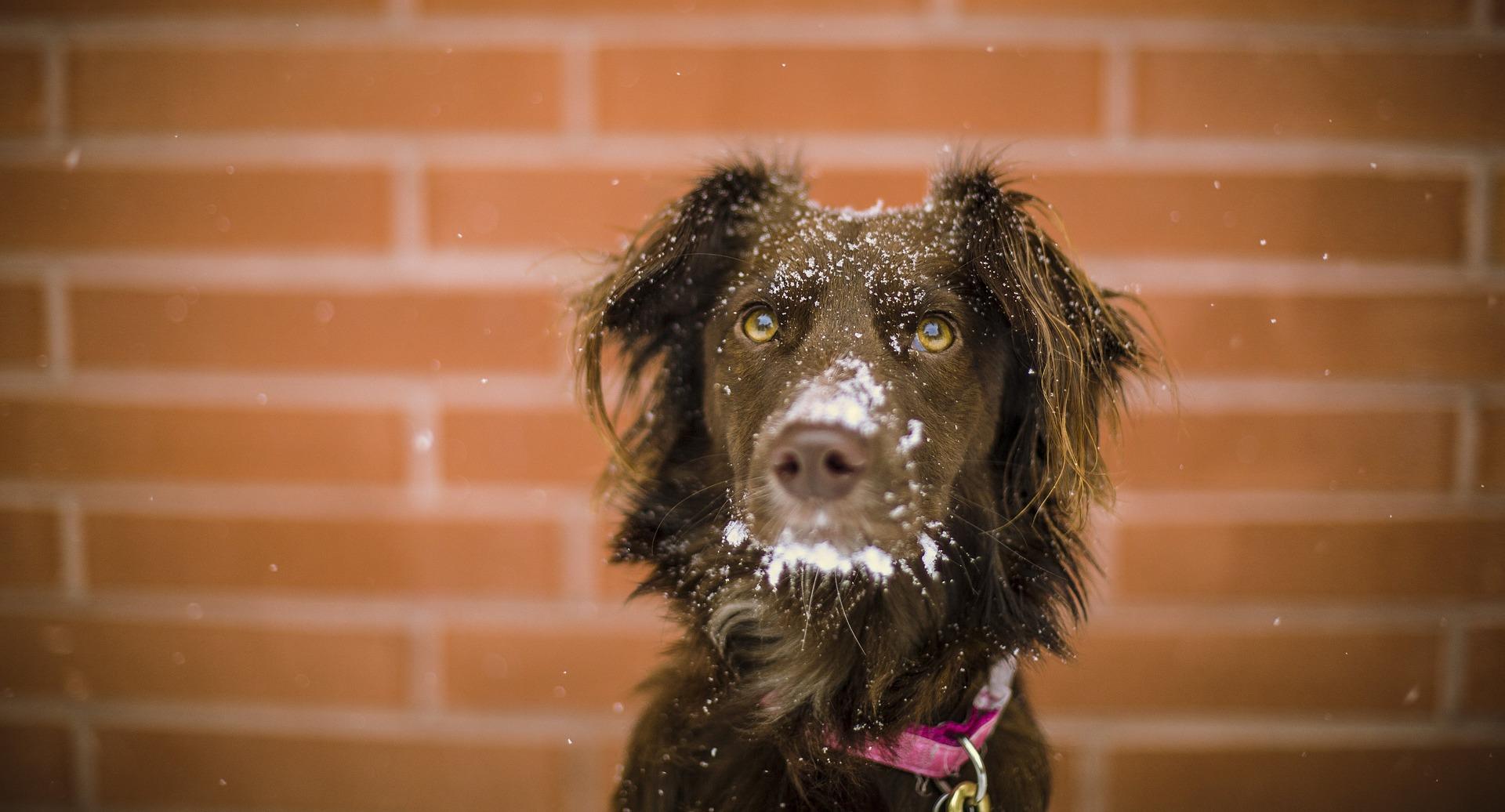 Hund mit Schneeflocken auf der Schnauze