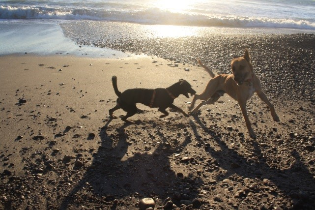 zwei Hunde toben am Strand