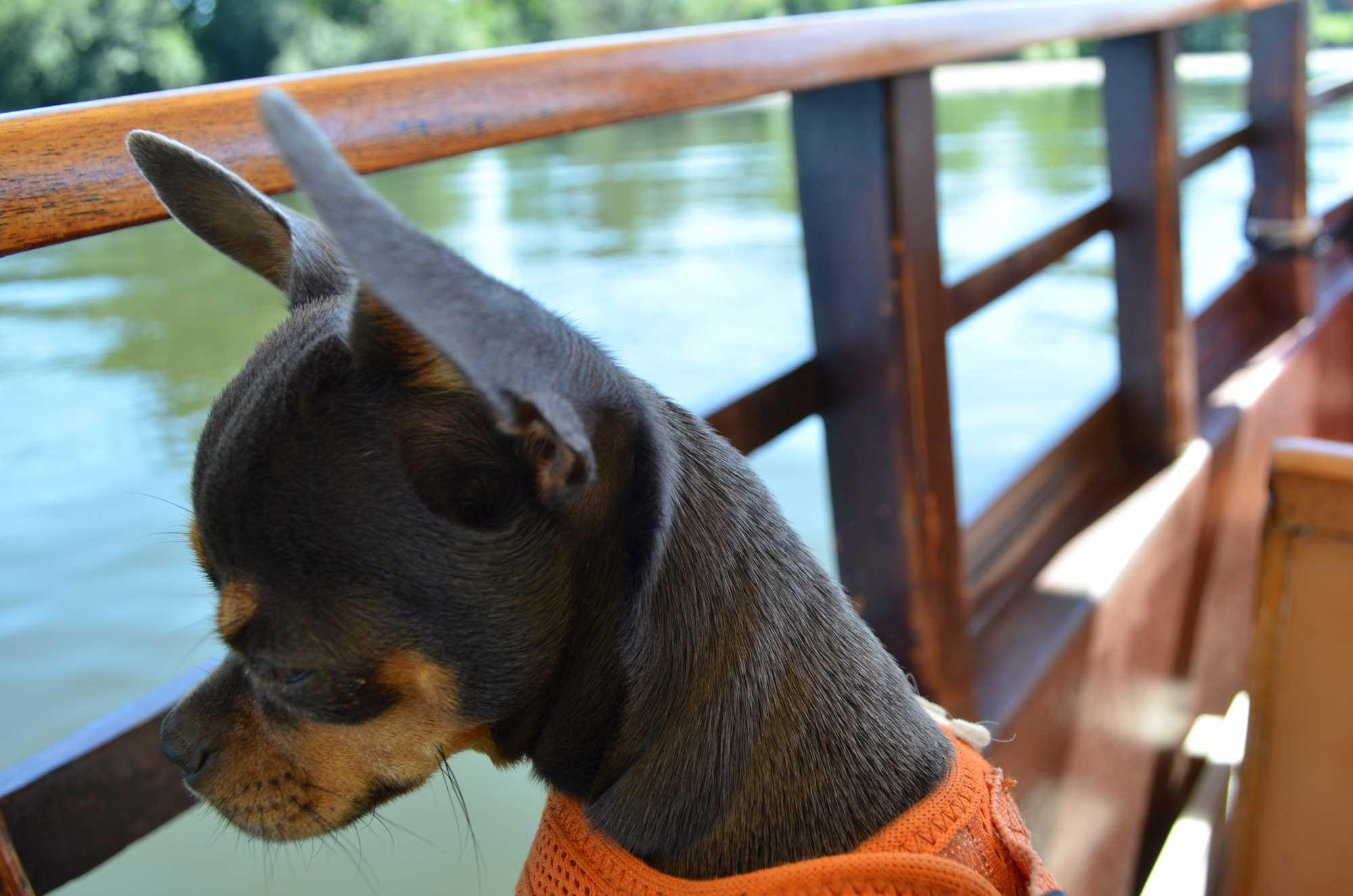 Chihuahua in Bergerac