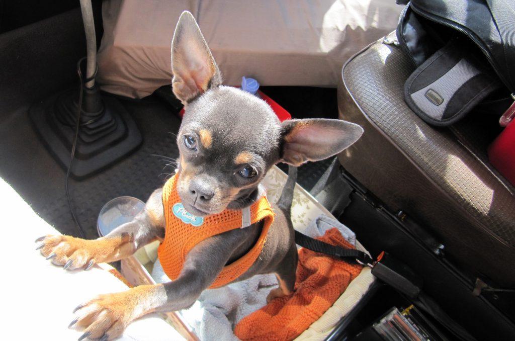 Chihuahua fährt im Bulli