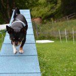 Chihuahua macht Sport