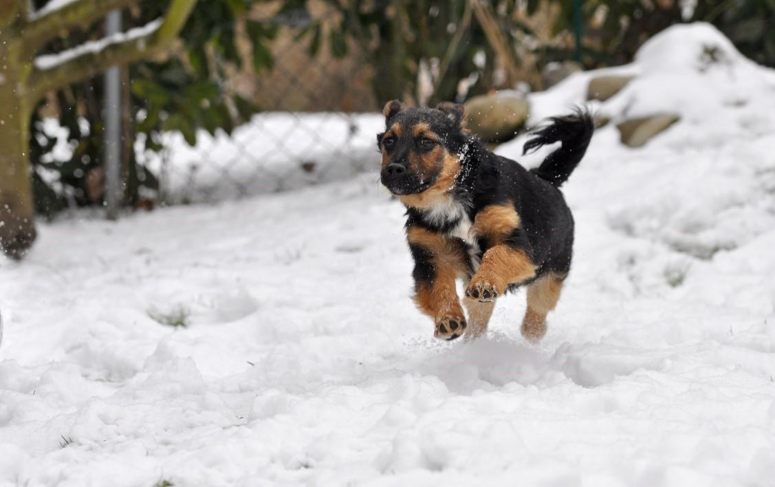 3 welpe springt durch schnee