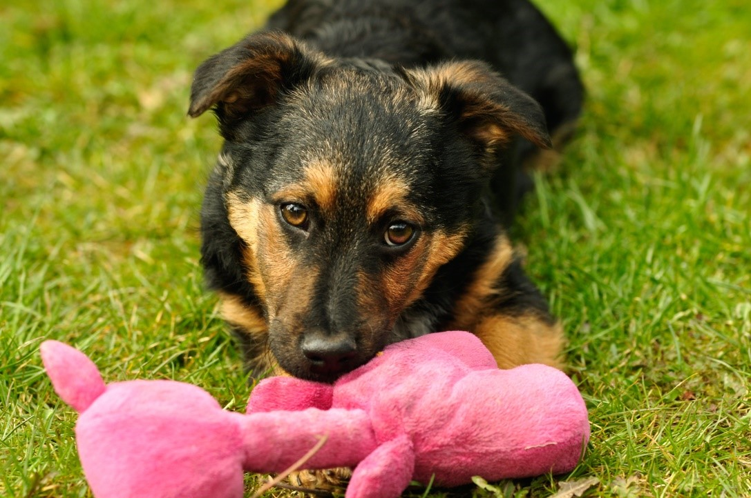 4 hund mit spielzeug schwein im maul