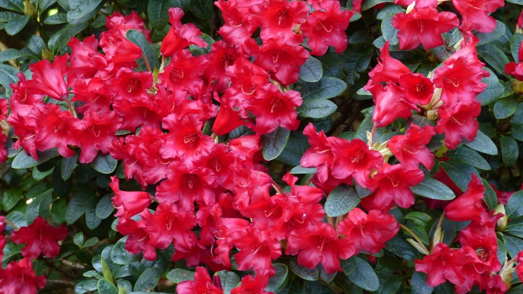 05-Rhododendron