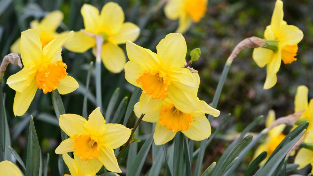 12-Gelbe Narzisse
