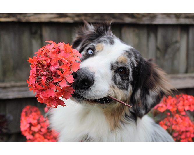 Giftige Garten- und Terrassenpflanzen für Hunde!