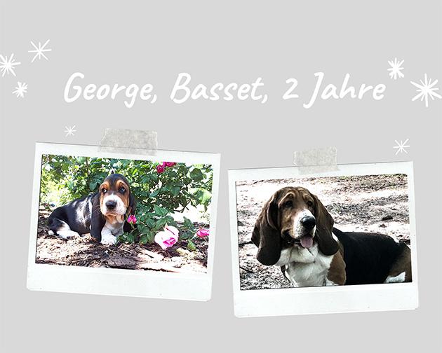 Basset George, 2 Jahre